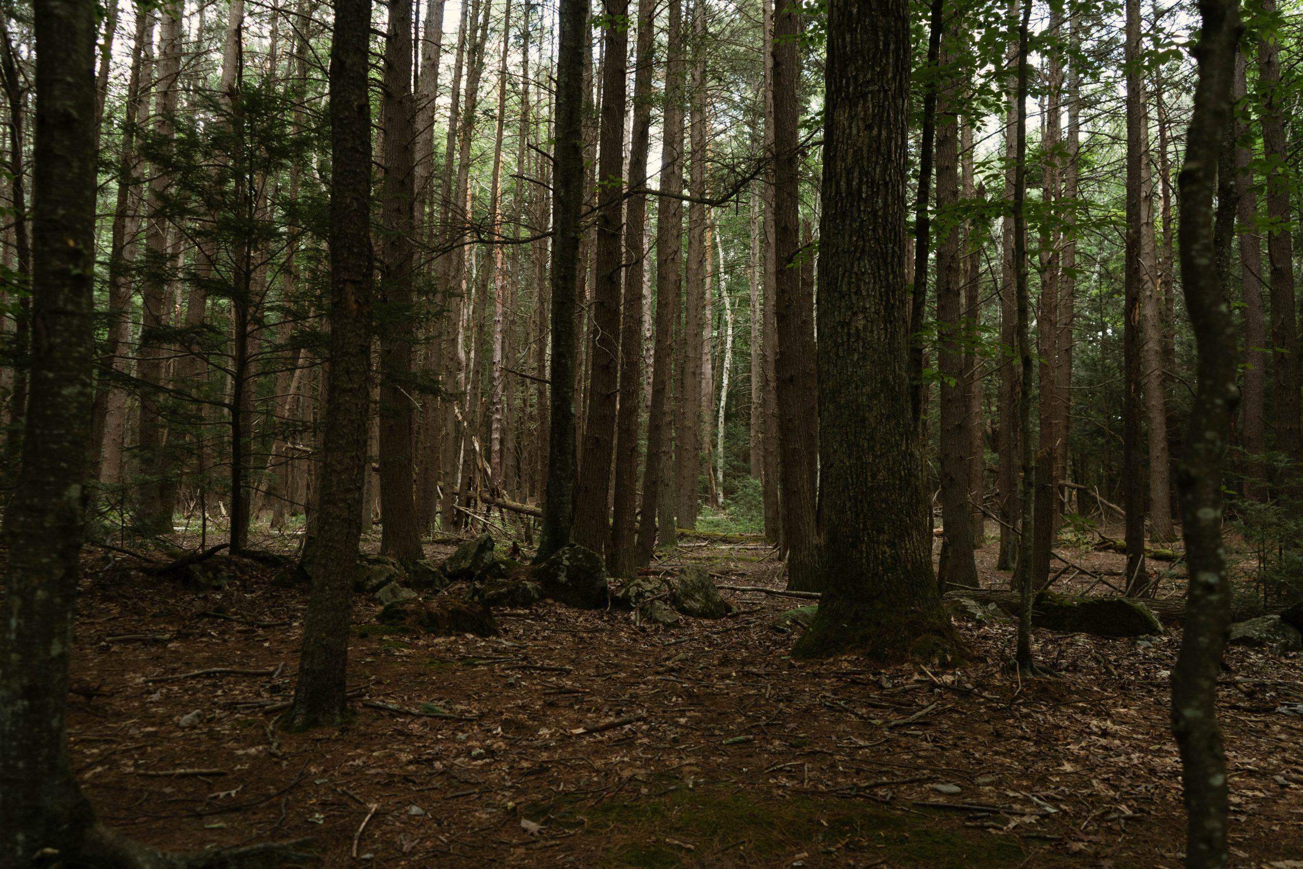 Skog med tallar och granar