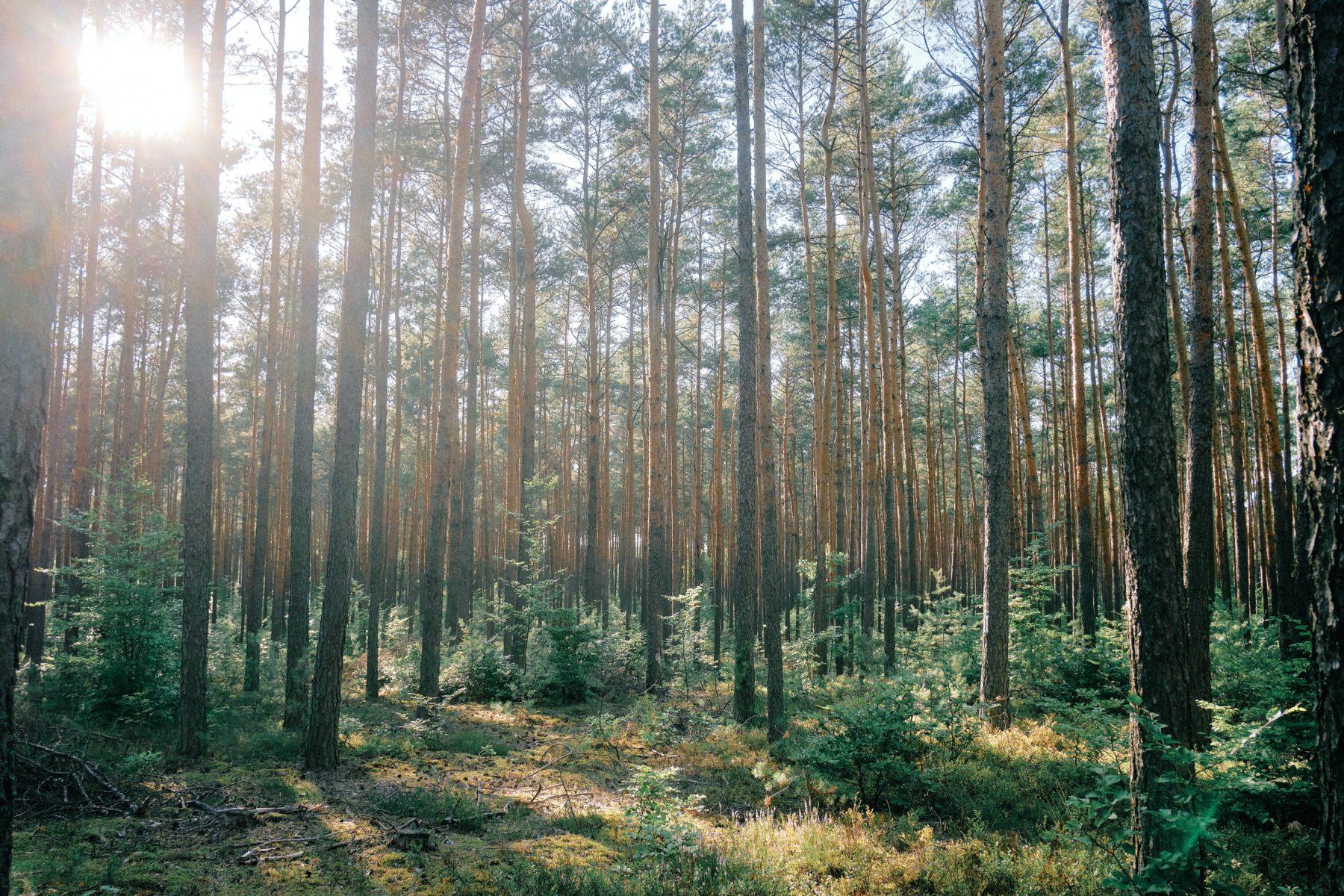 Norrländsk skog där solen strålar in