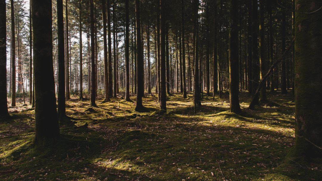 Norrländsk skog med morgonsol som strålar in
