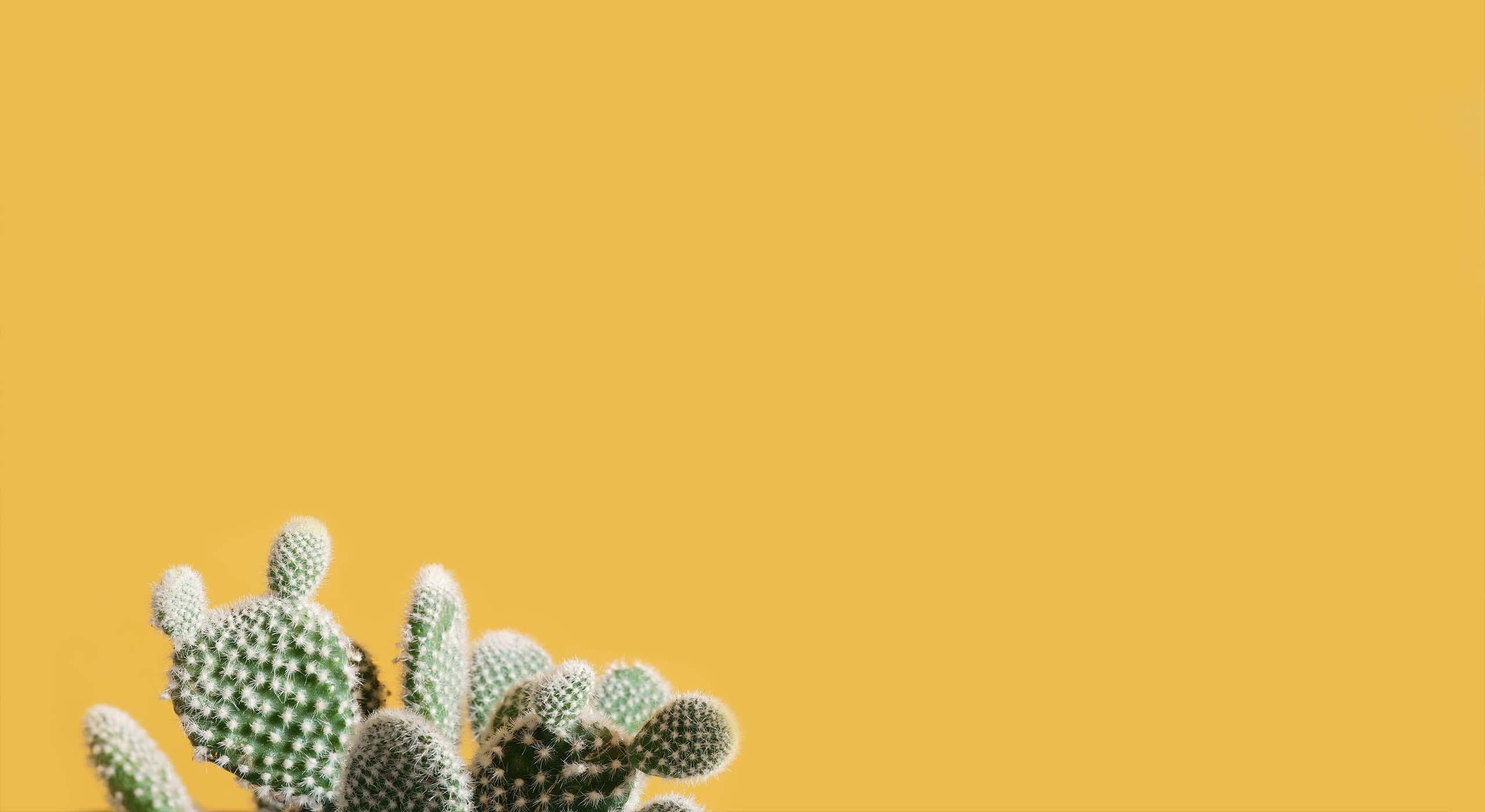 En kaktus som är fotograferad mot en gul bakgrund